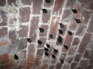 Roosting lesser horseshoe bats Photo credit: G. Bemment