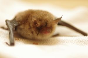 A natterer's bat in care. Photo credit: S. Butcher